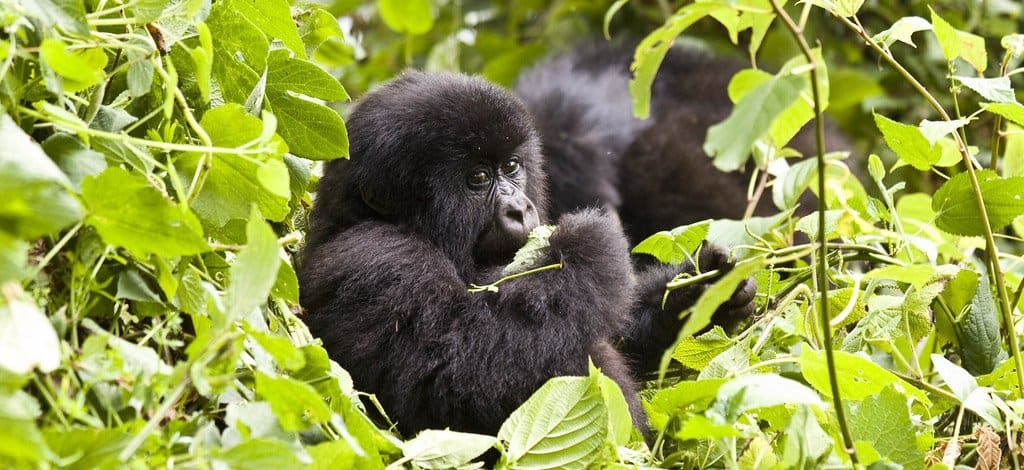 2 Days Gorilla Trek Uganda Tour