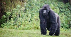 mountain gorilla arms