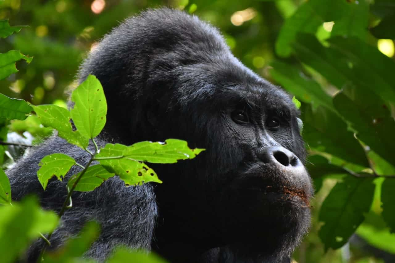 12 Facts About Mountain Gorillas