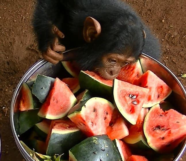 1 day Ngamba Island Chimpanzee Watching Safari