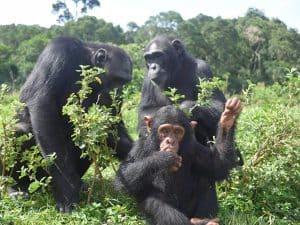 1 Day Ngamba Island Chimpanzee Viewing Safari - 1 Day Chimp Tour Uganda