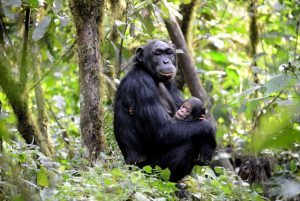 Chimps in Budongo forest - 4 days Murchison falls Safari