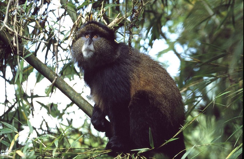 5 days Rwanda Primates-Golden-Monkey-trekking