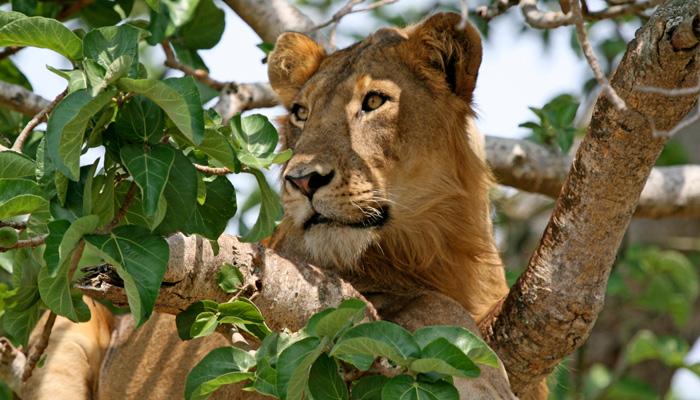 Tree-Climbing Lions - Uganda Wildlife Safari