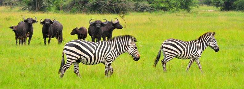 Zebras and Buffaloes on Uganda Wildlife Safari