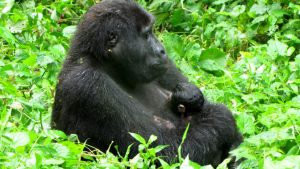Mountain Gorilla Baby Boom In Bwindi Impenetrable National Park