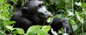 Chimpanzee on a 8 Days Primate Safari Uganda chimpanzee