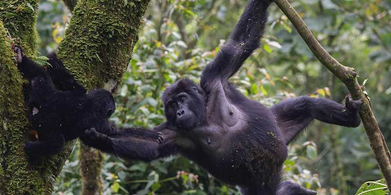 mountain gorilla on 8 Days Primate Safari Uganda