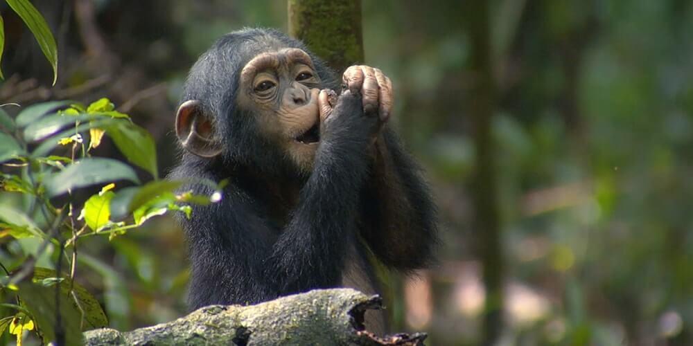 chimpanzee trekking in Kyambura