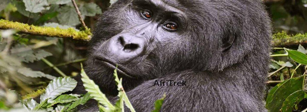 Gorilla trekking on a 6 days Uganda safari