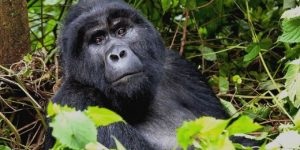gorilla safaris in Bwindi impenetrable forest national park